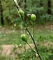 Anthericum ramosum Kiev3.jpg