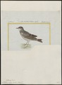 Anthus niger - 1700-1880 - Print - Iconographia Zoologica - Special Collections University of Amsterdam - UBA01 IZ16300177.tif