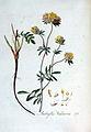 Anthyllis vulneria — Flora Batava — Volume v3.jpg