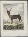 Antilope cervicapra - hoorns - 1700-1880 - Print - Iconographia Zoologica - Special Collections University of Amsterdam - UBA01 IZ21400103.tif