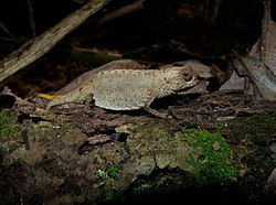 Antongil Leaf Chameleon, Nosy Mangabe, Madagascar (3899499361) (2).jpg