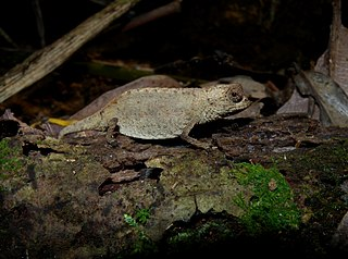 <i>Brookesia peyrierasi</i> Species of lizard