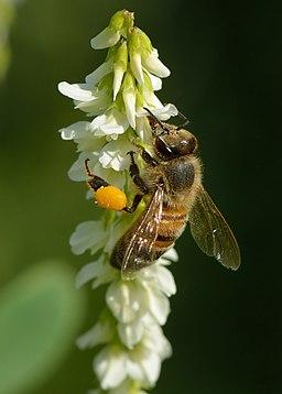 Apis mellifera - Melilotus albus - Keila