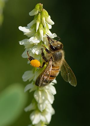 Coevolution - Honey bee taking a reward of nectar and collecting pollen in its pollen baskets from white melilot flowers