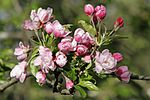 Apple blossoms04.jpg