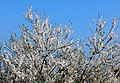 Apricot Blossom - geograph.org.uk - 1213740.jpg