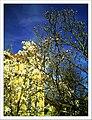 April Magnolia grandiflora Freiburg Botanischer Garten - Master Botany Photography 2013 - panoramio (7).jpg