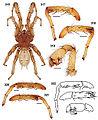 Aptostichus fisheri 01.jpg