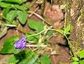 Aquilegia vulgaris in Aveyron (3).jpg