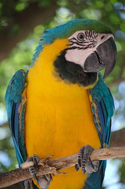 Ara ararauna -Blue-and-yellow Macaw in a tree.jpg