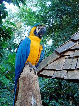 Parque das Aves - Image: Ara ararauna Foz do Iguaçu 8a