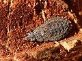 Aradus cinnamomeus 01.JPG