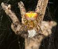 Araneus albotriangulus (15903665754).jpg
