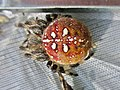 Araneus quadratus (Araneidae) (Four Spot Orbweaver) - (imago), Arnhem, the Netherlands.jpg
