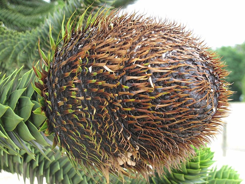 Araucaria (La Mer de sable) cone