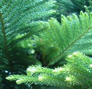 Araucaria heterophylla needles