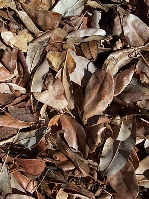 English: Pacific Madrone leaf litter. Latina: ...