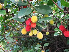 Strawberry tree leaves and fruit