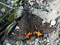 Archiearis parthenias - Orange underwing - Весенница берёзовая (40907678241).jpg