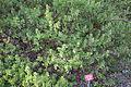 Arctostaphylos columbiana - Regional Parks Botanic Garden, Berkeley, CA - DSC04387.JPG