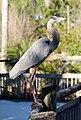 Ardea herodias - Orlando, Florida, USA - 20100111.jpg
