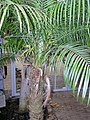 Arecaceae Phoenix roebelenii 1.jpg