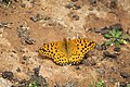 Argynnis hybrida 04.jpg