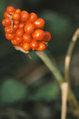 Arisaema triphyllum fruit.jpg