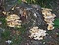 Armillaria mellea on Oak stump.jpg