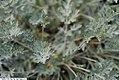 Artemisia absinthium Lambrook Silver 2zz.jpg