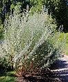 Artemisia absinthium Prague 2013 2.jpg