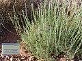 Artemisia alba subsp. nevadensis Habitus 2010-7-17 JardinBotanicoHoyadePedraza.jpg