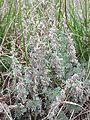 Artemisia austriaca sl2.jpg