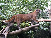 Asian golden cat at Edinburgh Zoo.jpg
