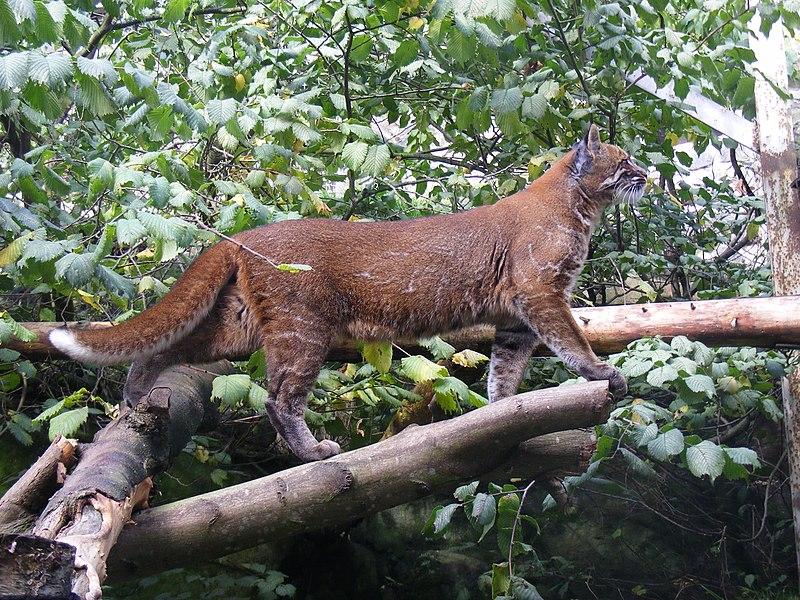 https://upload.wikimedia.org/wikipedia/commons/thumb/f/f4/Asian_golden_cat_at_Edinburgh_Zoo.jpg/800px-Asian_golden_cat_at_Edinburgh_Zoo.jpg