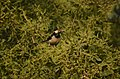 Asian pied starling (Gracupica contra) in keoladeo national park JEG2532.jpg