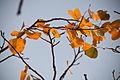 Aspen Leaves (5033629744).jpg