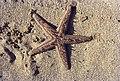 Astropecten jonstoni (38541162746).jpg
