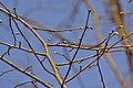 Atlas roslin pl Lipa srebrzysta 4918 8090.jpg