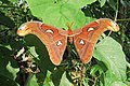 Attacus atlas - Atlas moth - at Peravoor (17).jpg