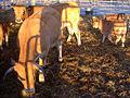 Aubrac kühe mit kälberII.jpg