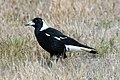 Australian Magpie (Gymnorhina tibicen) (8079679898).jpg