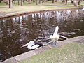Australian Pelicans, waterfowl, and rails in Centennial Park, Sydney.jpg