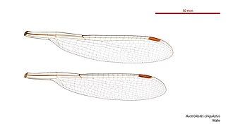 Metallic ringtail - Image: Austrolestes cingulatus male wings (33984754004)