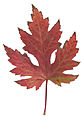 Autumn Silver Maple Leaf.jpg