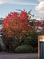 Autumnal tree (8060025833).jpg