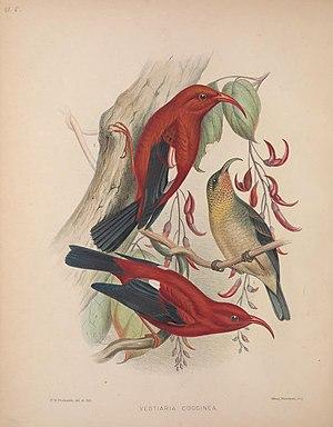 ʻIʻiwi - Vestiaria coccinea