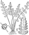 BB-0027 Woodsia oregana.png