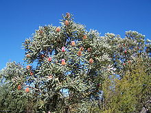A tree against a bright blue sky with several reddish flower spikes emerging.