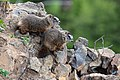 Baby Marmots near Calcite Sorings Overlook (42928702921).jpg